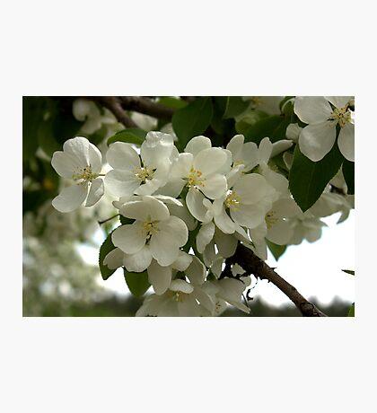 White Blossoms. Photographic Print