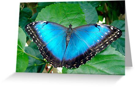 Blue Morpho by Paula Betz