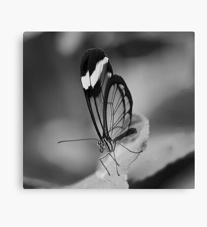 Glass Wing Canvas Print