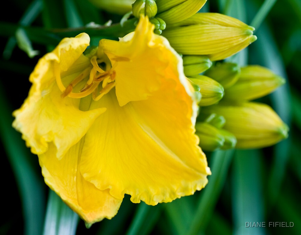 Yellow Lily by DIANE  FIFIELD