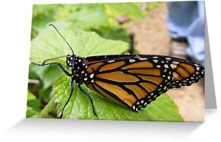 Morning Monarch by Jonathon Wuehler