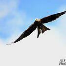 Swooping Red Kite by alistair simpson