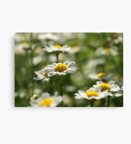 Lovely Daisies Canvas Print