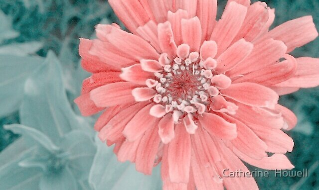 "Zinnia In ""Soft"" by Catherine  Howell"