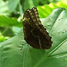 Just another butterfly by Cosmin Roszkos