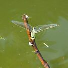 Dragonfly on a stick by Cosmin Roszkos