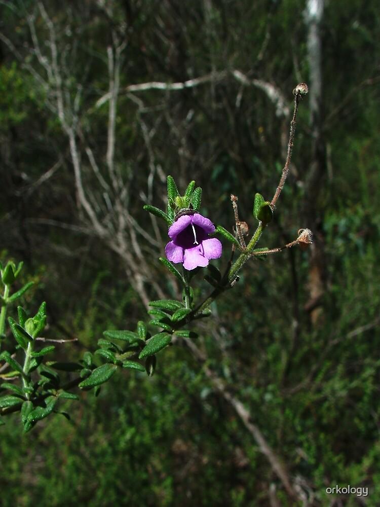 Mt Vincent mintbush, Prostanthera stricta by orkology