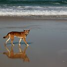 Dingo on the beach - Fraser Island, Queensland by Gili Orr