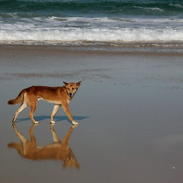 Dingo on the beach - Fraser Island, Queensland by gili