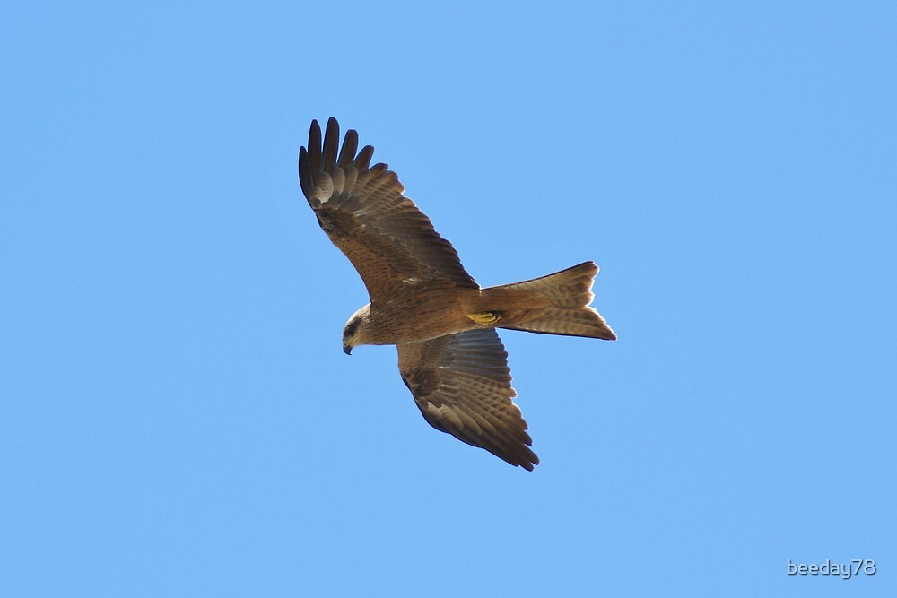 Black Kite in flight by beeday78