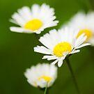 Daisies by kernuak