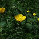 Yellow flower on the mountain side by Cosmin Roszkos