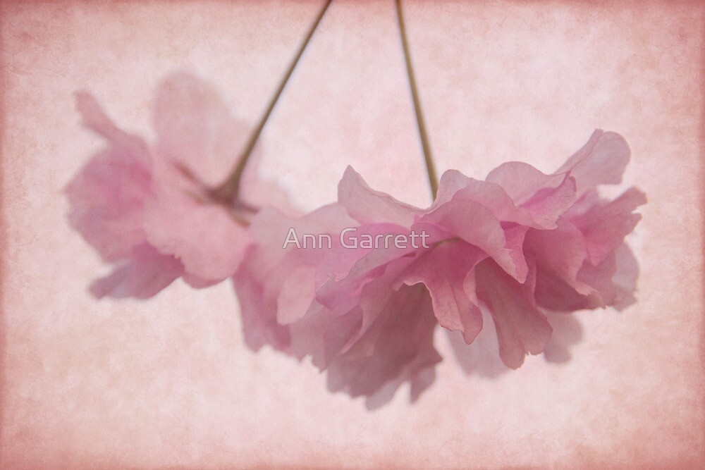 Cherry Blossom Froth by Ann Garrett