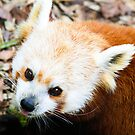 Red Panda by Michelle Callahan