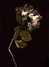 Dried Pink Hydrangea by Barbara Wyeth