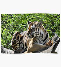 Amur Tiger Baring Teeth Poster