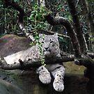 Snow leopard by Catherine Davis