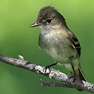 Close And Personal / Alder Flycatcher by Gary Fairhead