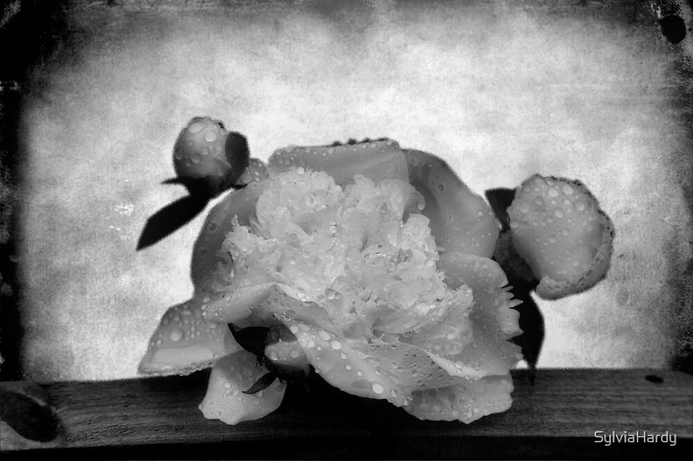 Peony by SylviaHardy