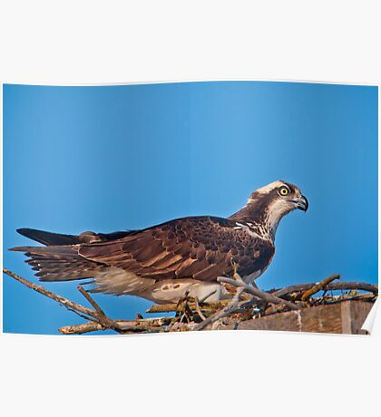 Osprey on Nest Poster