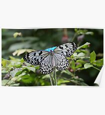 White and Black Butterfly on Blue Feeder Poster