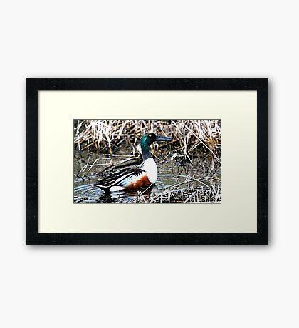 Northern Shoveler (Long Billed Duck) Framed Print