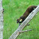 Pine Marten Climbing Down by kernuak