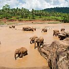 Bathing Time - Pinnawella Elephant Orphanage by Dilshara Hill