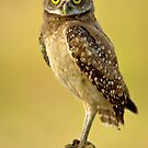 Burrowing owl in the wild by joemc