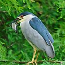 Black Crowned Night Heron & Catfish by J Jennelle