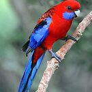 Crimson Rosella. Brisbane, Queensland, Australia. (4) by Ralph de Zilva