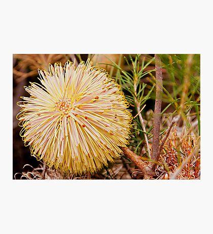 110619 Lesueur National Park Banksia leptophylla Photographic Print