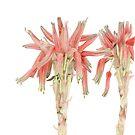 Aloe sp. - the nameless Aloe by Vanessa Pasqualetto