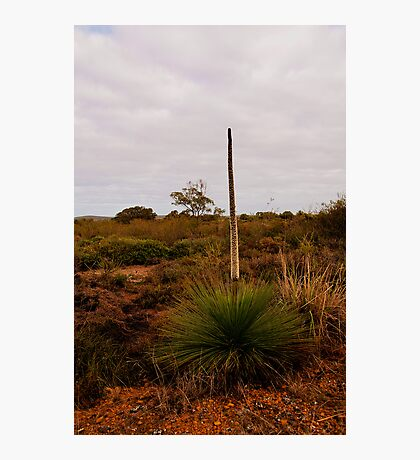 110619 Lesueur National Park Grass tree in flower Photographic Print