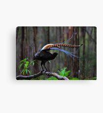 Superb Lyrebird Canvas Print