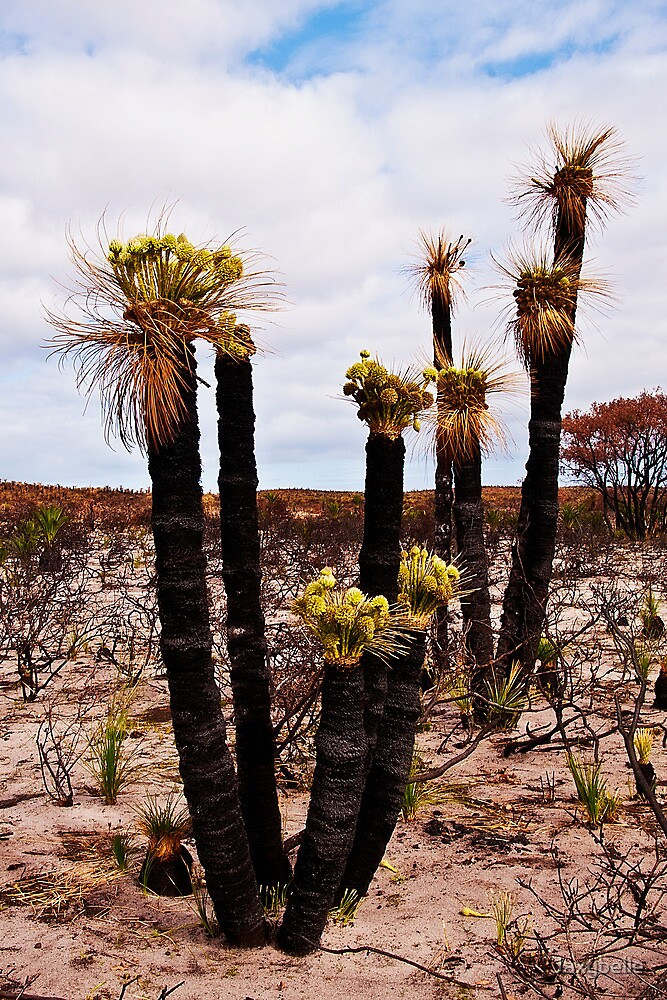 110619 Lesueur National Park Grasstree in flower 2 by Jaxybelle