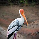 Painted Stork - Yala National Park by Dilshara Hill