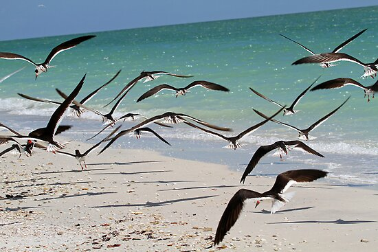 A flock of skimmers in flight by Anthony Goldman