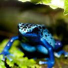 Blue Dart Frog by Michelle Callahan