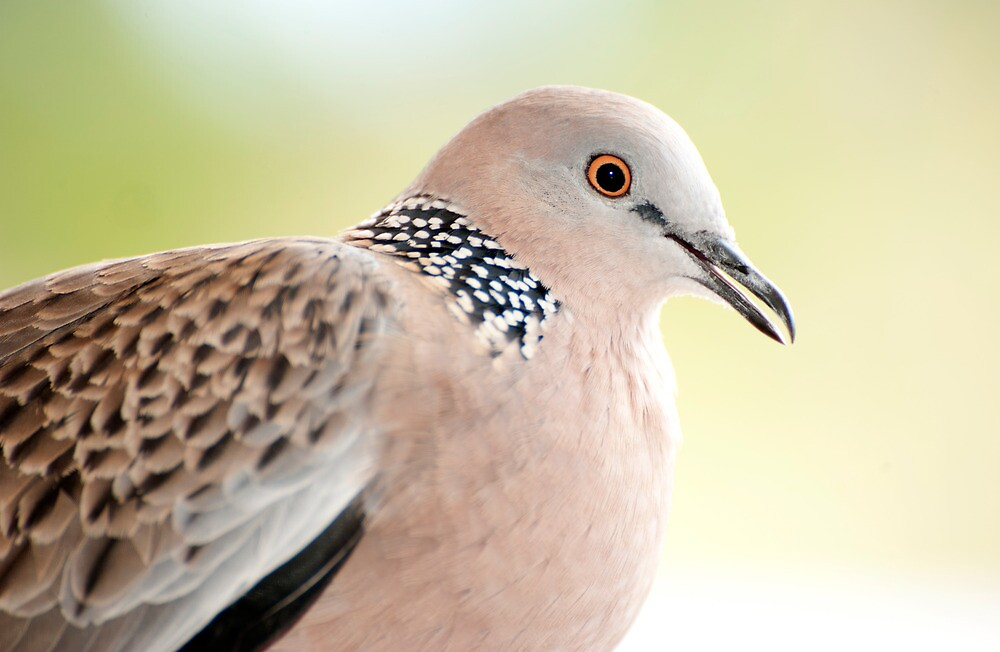 Spotted Turtle Dove by Jenny Dean