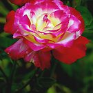 Double Delight Rose by KarDanCreations