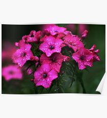 Pink blossoms with drops Poster