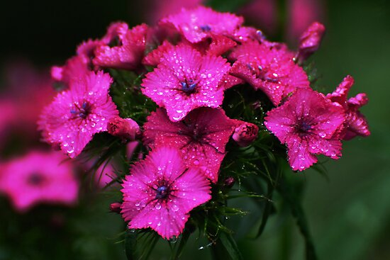 Pink blossoms with drops by Antanas
