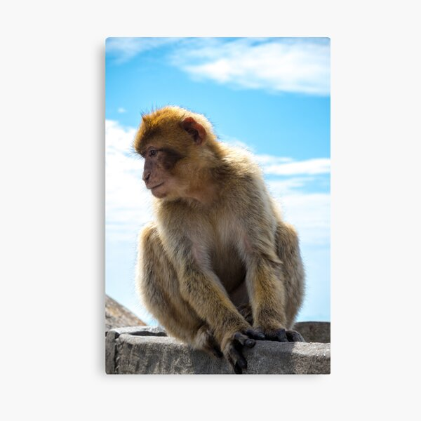 The famous apes of Gibraltar Canvas Print