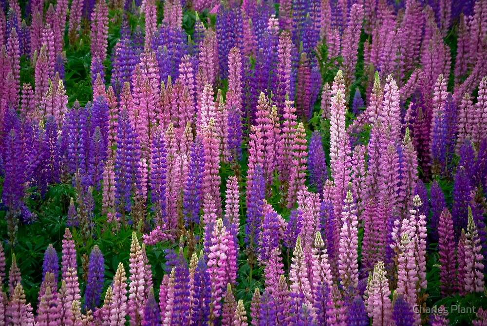 Lupins Lupins Lupins by Charles Plant