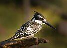Pied Kingfisher, Chobe River, Botswana by Neville Jones