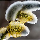 Pussy Willow by M S Photography/Art
