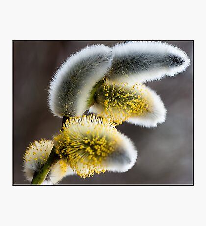 Pussy Willow Photographic Print
