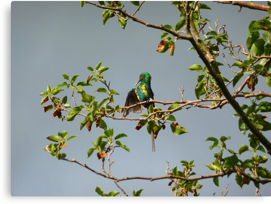 Grooming Sunbird by fourthangel