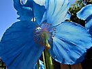 Blue Poppy by Carol Bleasdale
